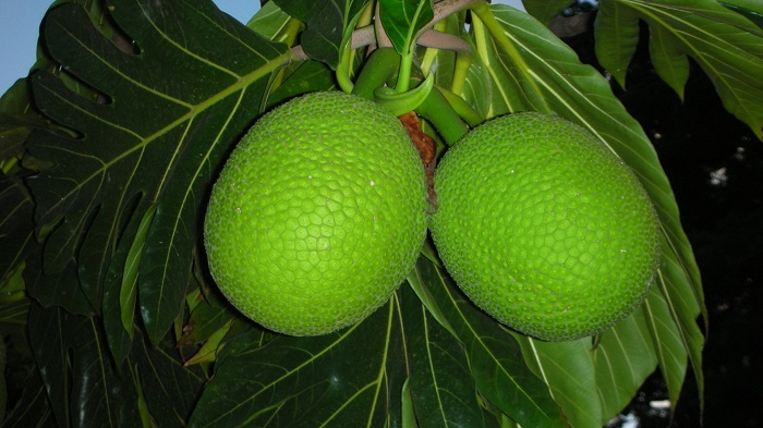 Breadfruit-3