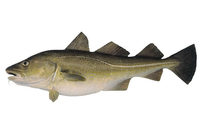Cod nutrition facts health benefits nutritional value for Cod fish nutrition