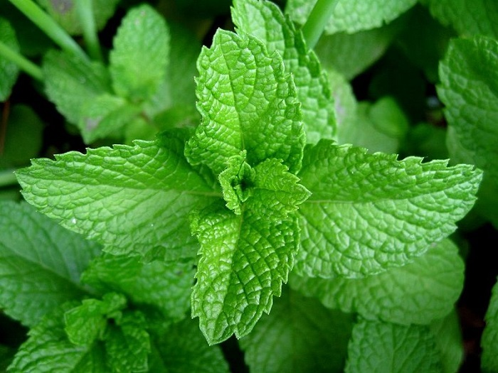 Peppermint-2