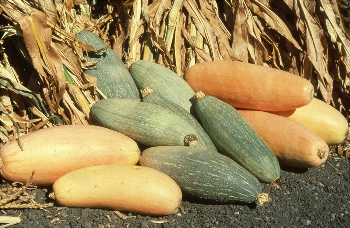 Photo Credit  http://horticulture.oregonstate.edu/content/squash