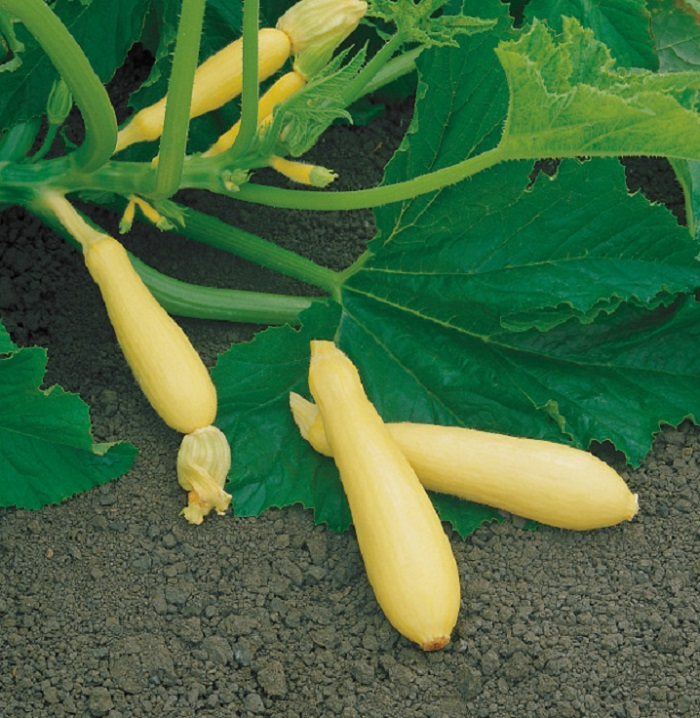 Photo Credit  http://www.hgtvgardens.com/squash/23-cool-squash-varieties