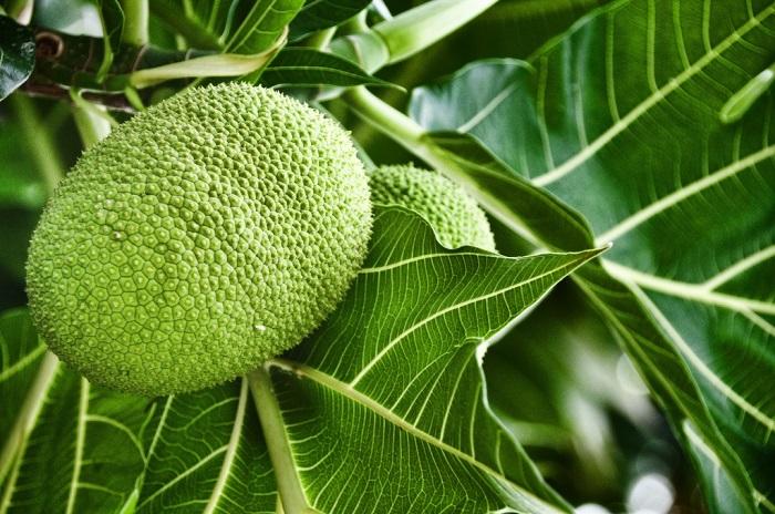 Breadfruit-2