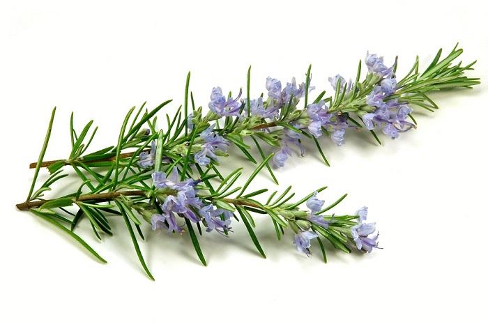 Rosemary-3
