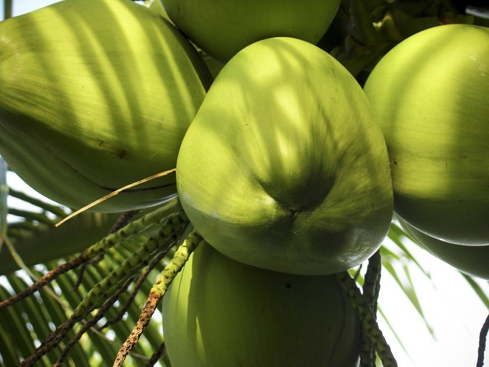 Photo Credit http://boombuying.trustpass.alibaba.com/product/172921136-107314722/Coconut_Fresh_Tender_.html