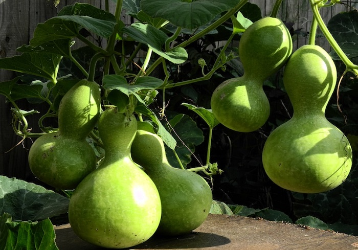 Photo Credit http://www.flowerpictures.net/garden/vegetable-garden/pages/calabash.html